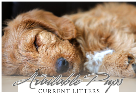Cibolo Creek Doodles Available Puppies