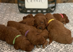 Mabel & Bentley's Valentine Litter